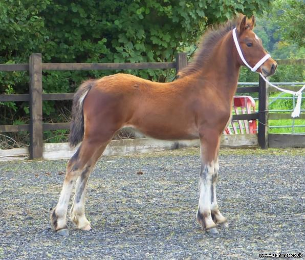 Outstanding Quality Welsh Section D Filly
