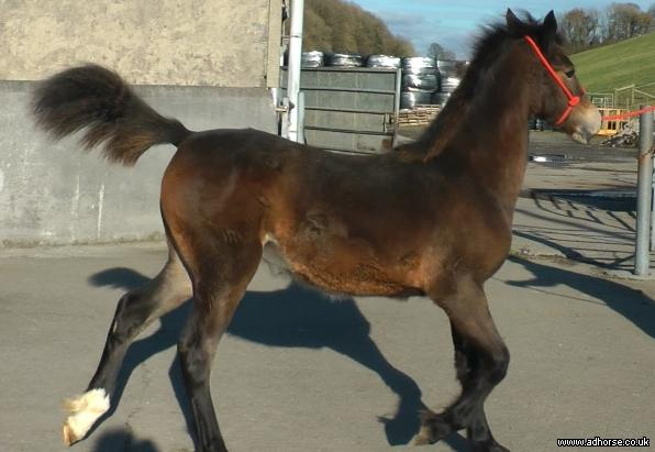 Stunning Welsh Section D Filly